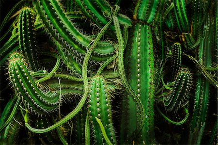 Cacti, close up Stock Photo - Premium Royalty-Free, Code: 649-07279731