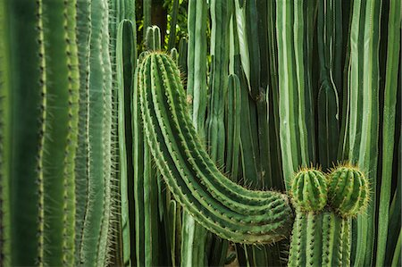 Cacti, close up Stock Photo - Premium Royalty-Free, Code: 649-07279741