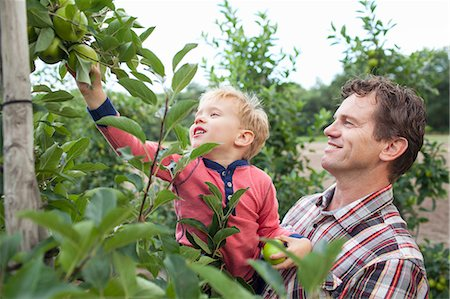 family apple orchard - Farmer and son picking apples from tree in orchard Stock Photo - Premium Royalty-Free, Code: 649-07437984