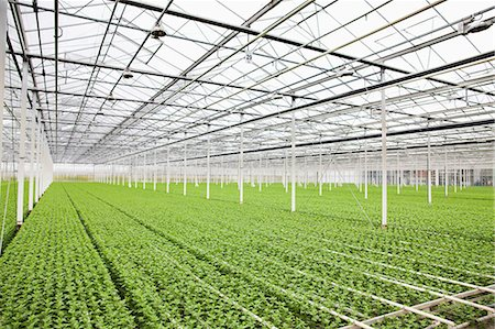 Rows of plants growing in greenhouse Stock Photo - Premium Royalty-Free, Code: 649-07438011