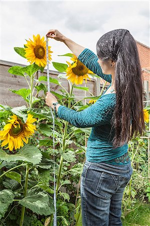 Mature woman measuring sunflowers in garden Stock Photo - Premium Royalty-Free, Code: 649-07560277