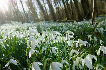 Close up of snowdrops and forest Stock Photo - Premium Royalty-Free, Code: 649-07585054