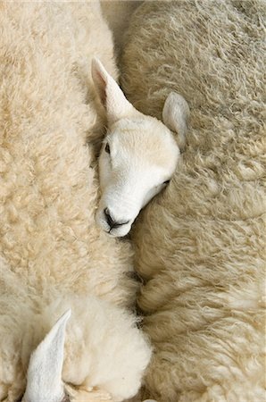 domestic sheep - Overhead view of lambs head between two sheep Stock Photo - Premium Royalty-Free, Code: 649-07648464