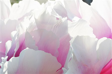 petal - Close up of pink and white petaled flowerhead Stock Photo - Premium Royalty-Free, Code: 649-07648638