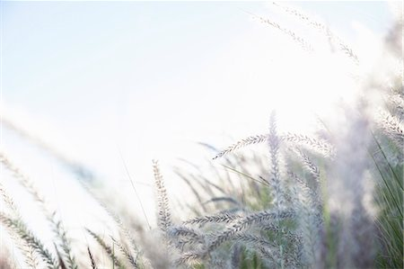Dreamy close up detail of long grasses in sunlight Stock Photo - Premium Royalty-Free, Code: 649-07710693