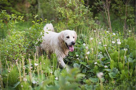 dogs in nature - Golden retriever walking alone in long grass Stock Photo - Premium Royalty-Free, Code: 649-07736481