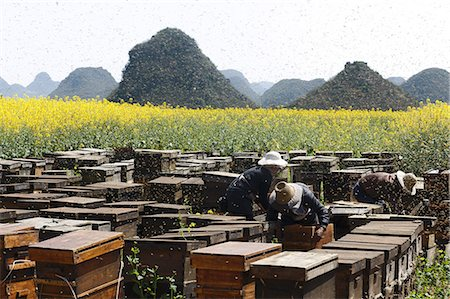 Swarms of bees and three beekeepers working next to fields with yellow blooming oil seed rape plants, Luoping,Yunnan, China Stock Photo - Premium Royalty-Free, Code: 649-07803558
