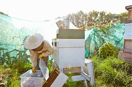 Female beekeeper putting honeycomb trays into plastic container on city allotment Stock Photo - Premium Royalty-Free, Code: 649-07803951