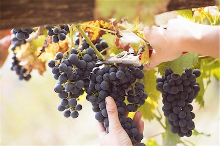 Close up of young womans hands cutting grapes from vine, Premosello, Verbania, Piemonte, Italy Stock Photo - Premium Royalty-Free, Code: 649-07905332