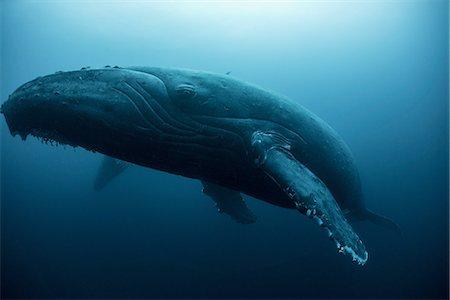 Humpback whale (Megaptera novaeangliae) resting in the deep, Roca  Partida, Revillagigedo, Mexico Stock Photo - Premium Royalty-Free, Code: 649-08085827