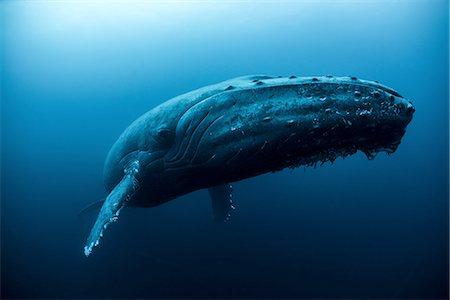 Humpback whale (Megaptera novaeangliae) swimming in the deep, Roca  Partida, Revillagigedo, Mexico Stock Photo - Premium Royalty-Free, Code: 649-08085828