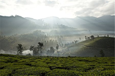 scenic - Tea plantation at dawn, Kerala, India Stock Photo - Premium Royalty-Free, Code: 649-08085976