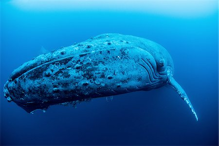 A female humpback resting in the depths around Roca Partida Island, Mexico Stock Photo - Premium Royalty-Free, Code: 649-08086097