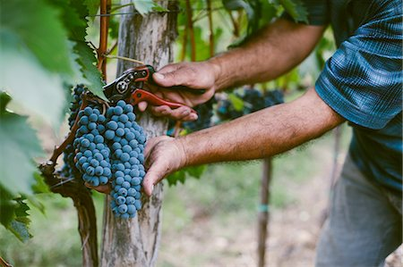 Senior mans hands harvesting grapes from vine Stock Photo - Premium Royalty-Free, Code: 649-08086131