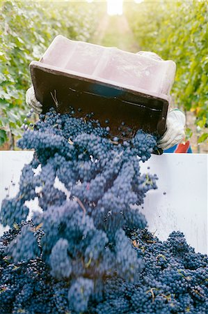 Man unloading harvested grapes into trailer Stock Photo - Premium Royalty-Free, Code: 649-08086133
