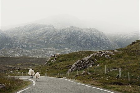 Sheep on road, Isle of Lewis, West Coast, Scotland Stock Photo - Premium Royalty-Free, Code: 649-08119166