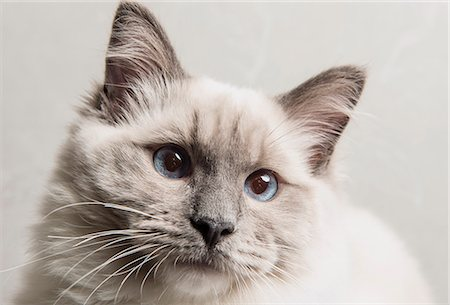 pictures cats - Portrait of face of Ragdoll cat, close-up Stock Photo - Premium Royalty-Free, Code: 649-08125554