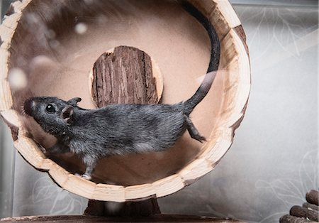 fluffy - Gerbil running on wooden wheel Stock Photo - Premium Royalty-Free, Code: 649-08125553