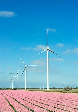 Rows of pink flower blooms and wind turbines, Zeewolde, Flevoland, Netherlands Stock Photo - Premium Royalty-Free, Code: 649-08126021