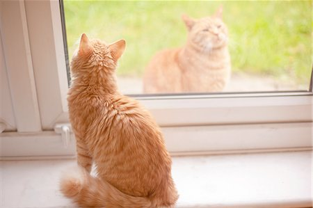 superior - Ginger tom cat looking out from windowsill whilst another ginger tom cat looks in Stock Photo - Premium Royalty-Free, Code: 649-08179913