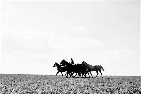 B&W image of man riding and leading six horses in field Stock Photo - Premium Royalty-Free, Code: 649-08423442