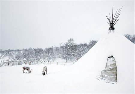 Reindeers graze outside a Sami lavvu, a traditional, temporary tent, in Kirkeness, Finnmark region, northern Norway Stock Photo - Premium Royalty-Free, Code: 649-08564842