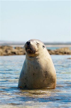 Sea Lion at Baird Bay, Eyre Peninsula, South Australia, Australia Stock Photo - Premium Royalty-Free, Code: 649-08632614