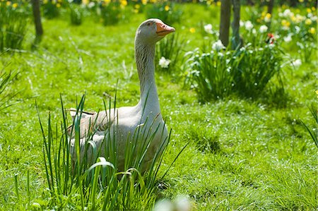 Portrait of goose in daffodil meadow Stock Photo - Premium Royalty-Free, Code: 649-08702700