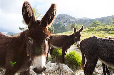Catalan donkeys in the La Tramuntana mountain range, Majorca, Spain Stock Photo - Premium Royalty-Free, Code: 649-08860367