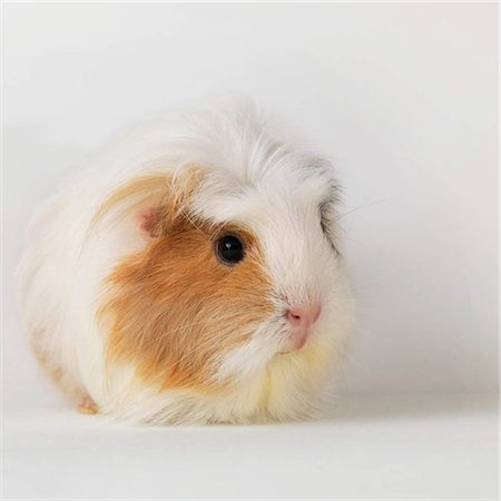 Guinea pig sitting on white background Stock Photo - Premium Royalty-Free, Code: 649-02732687