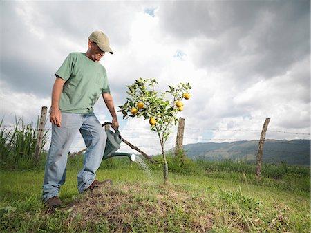 Man Watering A Young Orange Tree Stock Photo - Premium Royalty-Free, Code: 649-03078318