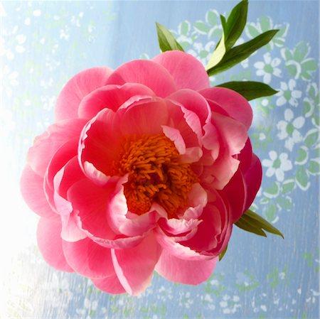 peony - open peony blossom Stock Photo - Premium Royalty-Free, Code: 649-03292787