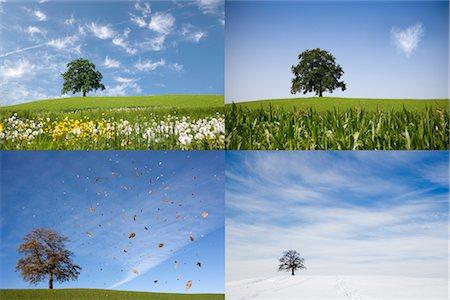 oak tree on hill in four seasons Stock Photo - Premium Royalty-Free, Code: 649-03292781