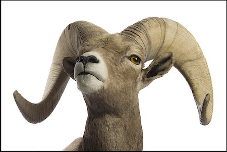 ram (animal) - Close-up of a ram Stock Photo - Premium Royalty-Free, Code: 640-01354835