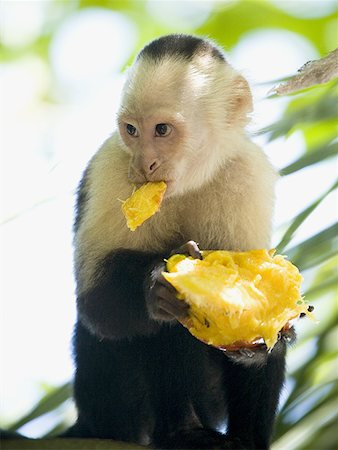 Close-up of a capuchin monkey eating a fruit (Cebus capucinus) Stock Photo - Premium Royalty-Free, Code: 640-01350696