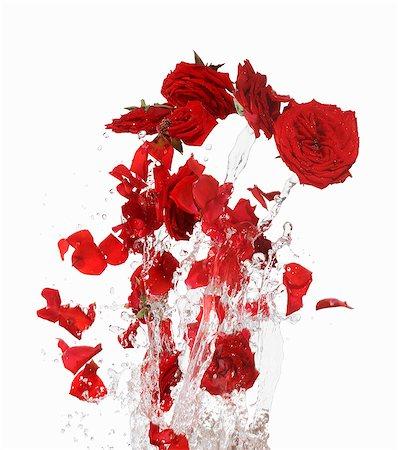 rose - Red rose petals making a splash Stock Photo - Premium Royalty-Free, Code: 659-06154348