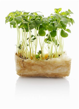 sprout - Shiso sprouts Stock Photo - Premium Royalty-Free, Code: 659-06152097