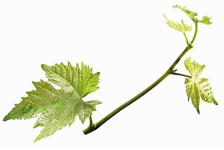Vine tendril Stock Photo - Premium Royalty-Free, Code: 659-06152542