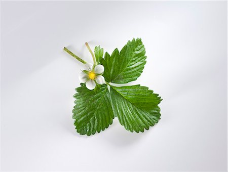 Strawberry flowers and leaves Stock Photo - Premium Royalty-Free, Code: 659-06153229