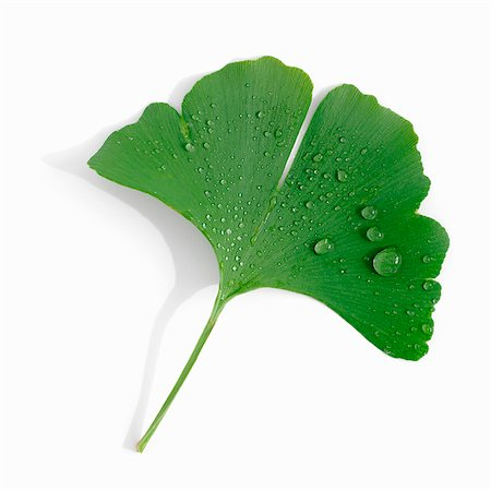 A ginkgo leaf with drops of water Stock Photo - Premium Royalty-Free, Code: 659-06184846