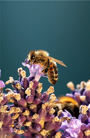 A bee on a lavender flower Stock Photo - Premium Royalty-Free, Code: 659-06185623