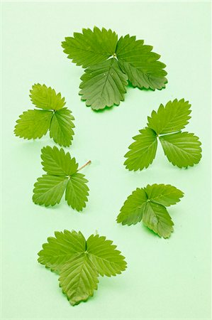 Strawberry leaves Stock Photo - Premium Royalty-Free, Code: 659-06187231