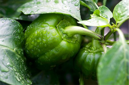 plant (botanical) - Green pepper on plant Stock Photo - Premium Royalty-Free, Code: 659-06187350