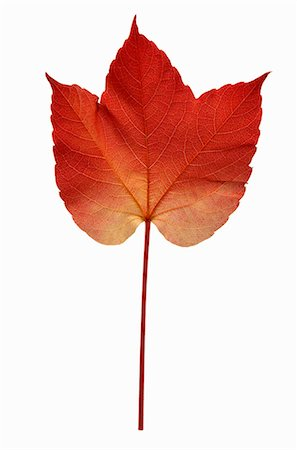 A Virginia Creeper leaf Stock Photo - Premium Royalty-Free, Code: 659-06188098
