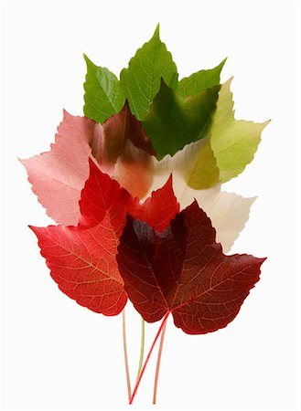 Colorful Virginia Creeper leaves Stock Photo - Premium Royalty-Free, Code: 659-06188102