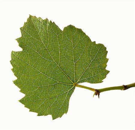 Real grape leaf Stock Photo - Premium Royalty-Free, Code: 659-06188103