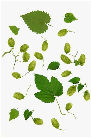 Hops leaves and hops shoots Stock Photo - Premium Royalty-Free, Code: 659-06183826