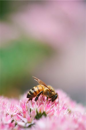 Honeybee Gathering Pollen on Flower Head Stock Photo - Premium Royalty-Free, Code: 659-06306169