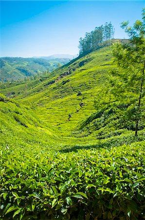 A tea plantation in Munnar, Kerala, India Stock Photo - Premium Royalty-Free, Code: 659-06307155