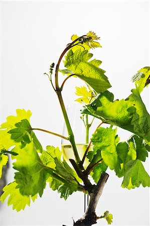 A glass of white wine amongst young vines with green leaves Stock Photo - Premium Royalty-Free, Code: 659-06307445